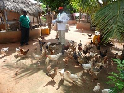 Poultry at the Agriculture project in Togo