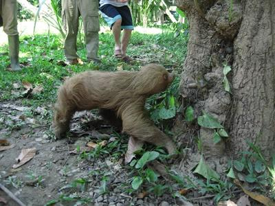 A sloth being released back into the wild in Peru