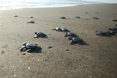 Turtle hatchlings on Mexican beach head for the ocean